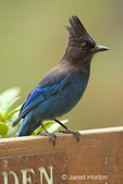 """Steller's Jay sitting on the back of a garden bench in our backyard.  It makes a large variety of loud and harsh calls. Common call a harsh """"shaar,"""" and a rapid rattling """"shek, shek, shek, shek.""""  It is common in coniferous and mixed woods. Steller's and Blue jays are the only North American jays with crests."""