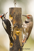 Male Hairy Woodpecker and a Male Northern Flicker, Red-shafted subspecies,  both eating from the log suet feeder in my backyard at the same time!