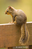 Douglas' Squirrel  or Chickaree or Pine Squirrel perched on the back of a garden bench in the backyard.  Primarily lives in coniferous forests.  Its natural foods are new shoots of conifers, green vegetation, acorns, nuts, mushrooms, fruits and berries.