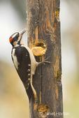 Male Hairy Woodpecker eating from a log suet feeder taken in my backyard.