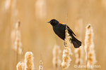 Red-winged Blackbird sitting on a fluffy cattail