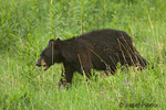Black Bear walking in a meadow looking forward, in a meadow, growling.