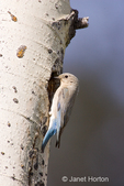 Female Mountain Bluebird bringing an insect to its young in the nesting hole in the tree.