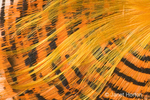 Golden Pheasant feathers.  The Golden Pheasant or Chinese Pheasant, is a gamebird.  The deep orange