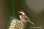 Chestnut-backed Chickadee sitting on a wire suet feeder in our backyard.  They are quite attacted to and daily visit my homemade suet, much preferring it that bought in a store.