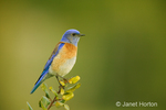 Male Western Bluebird sitting on the top of a tree.