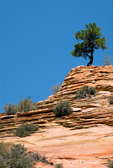 Juniper or Pine Tree growing on top of rocky sandstone mound in the cracks of the rocks