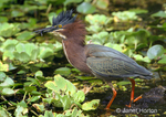 Green Heron eating black slug while walking in lettuce pond