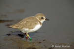 Wilson's Plover with three colored bands on legs, wading in shallow muddy water in a tidal area in San Simeon, California.  It is a very rare visitor to sandy beaches, sandflats and mudflats away from the immediate shoreline.