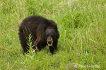 Black Bear growling and hunting for food in the wildflower-filled meadow.