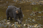 Black bear eating salmon in stream near the hatchery, with lots of parts of dead salmon lying about in the stream