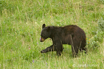 Black Bear cub with paw up, playing and eating grass in the wildflower-filled meadow.