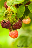 Clump of raspberries growing on the vine, in different stages of ripeness, taken in a rural area.