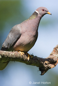 Band-tailed Pigeon sitting on a branch.