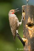 Male Northern Flicker, Red-shafted subspecies, perched on a log suet feeder in my backyard.  