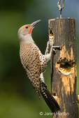 Male Northern Flicker, Red-shafted subspecies, with partially open beak, perched on a log suet feeder in my backyard.  It is attracted to my homemade suet and visits the feeder several times a day, although it naturally forages on the ground, feeding on ants.  The males have a red patch to the side of their chin.