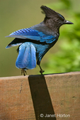 Steller's Jay sitting on the back of a garden bench in a twisted position, about to fly.