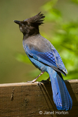 Steller's Jay perched on the back of a garden bench.