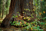 Large Giant Sequoia and small Pacific Dogwood trees in Autumn in the south grove.  Giant Swquoia are one of the world's largest and oldest trees.   Pacific Dogwood trees are one of the most handsome native ornamental trees on the Pacific Coast, with very showy flowers and fruit.