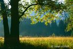 Backlit Oak Tree in brightly lit early morning meadow
