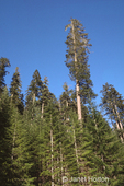 Grove of Douglas Fir trees