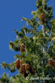 Sugar Pine (Pinus lambertiana) tree with pine cones in the Autumn in a forest.