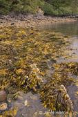 Barnacles and fucus on seashore.