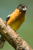 Male Black-headed Grosbeak sitting on a log, taken in my backyard.
