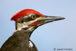 Male Pileated Woodpecker close-up on log suet feeder.
