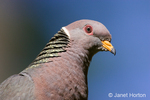 Band-tailed Pigeon close-up of head and shoulders