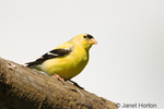 Male American Goldfinch perched on log.