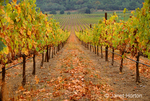 Organized rows of grapevines at Stags Leap vineyard.
