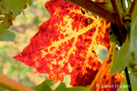 Close-up of a red grapeleaf in Autumn at Stags Leap vineyard.