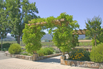 Grape vines on trellis archway near visitors' center entrance to Silver Oaks vineyard