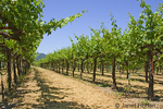 Rows of grapevines in the spring at Silver Oaks vineyard