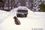 Snow falling on Cocker Spaniel dog and car (Chevrolet Blazer) in driveway, with snow piled high around the edges of the driveway and covering the trees in the Sierra Nevada Mountains