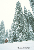 Tall snow-covered Ponderosa Pine trees and house in the Sierra Nevada mountains