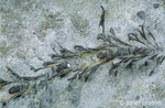 Seaweed fossils in sedimentary rocks found on Westin Beach.