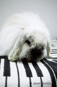 Rabbit (half purebred Angora and half purebred french lop) sitting on blanket with piano keys design inside a house