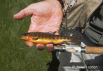 Golden trout in hand next to fly fishing handle with trout on it and reel caught in Horseshoe Creek in Horseshoe Meadows.