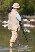 Photographer carrying tripod, wading in Little Estero Lagoon, surrounded by a flock of Roseate Spoonbills