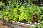 A variety of over-wintered lettuce growing in a raised bed in a summer garden