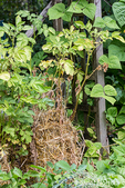 Issaquah, Washington, USA.  Potato plant growing in a wire cage surrounded by straw for mulching.