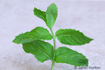 Stalk of mint leaves.  The leaves have a pleasant warm, fresh, aromatic, sweet flavor with a cool aftertaste. Mint essential oils are used to flavor food, candy, teas, breath fresheners, antiseptic mouth rinses, and toothpaste. Mint leaves are used in teas, beverages, jellies, syrups, and ice creams.