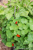 Issaquah, Washington, USA.  Nasturtiums growing in a vegetable garden beside pole beans.