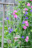 Issaquah, Washington, USA.  Sweet Peas in blossom growing up a string trellis.