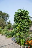Issaquah, Washington, USA.  Pole beans on a trellis in a community garden.