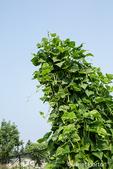 Issaquah, Washington, USA.  Pole green beans growing in abundance up a trellis.