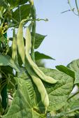 Issaquah, Washington, USA.  Close-up of pole green beans against a blue sky.