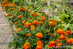 Issaquah, Washington, USA.  Marigolds growing next to squash in a community garden
